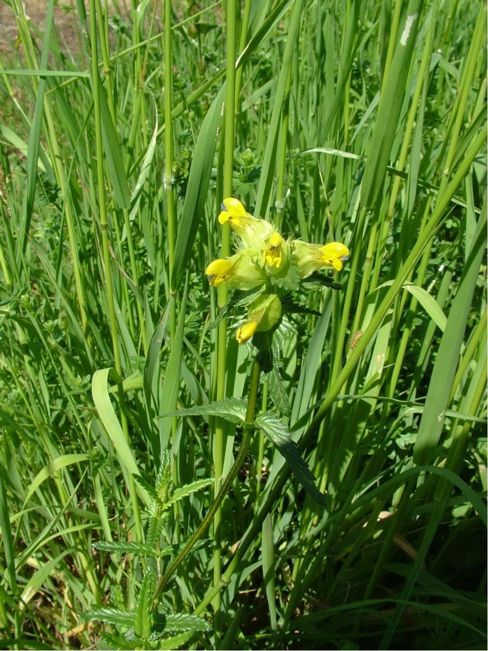 Yellow Rattle 310517 041 Friends Of Havant Cemeteries